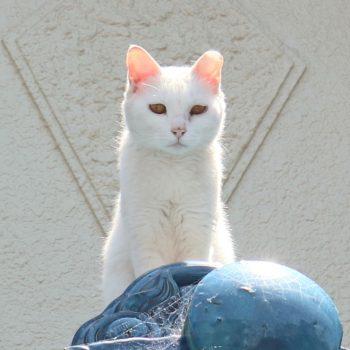 カワイイ白猫