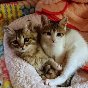 いつも一緒の仲良し姉妹子猫