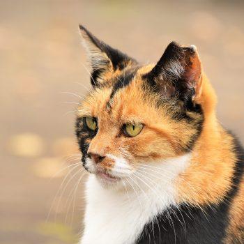 美しきさくら猫